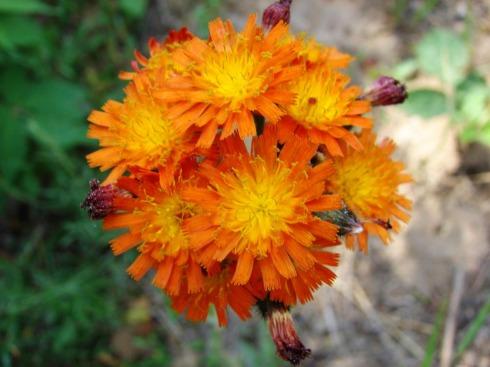 june 22 wildflowers
