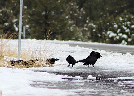 ravens blog